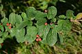 Cotoneaster tomentosus (8251095839).jpg