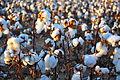Cotton field kv31.jpg