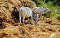 Cow 02 01 2012.JPG