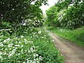 Cow parsley (Anthriscus sylvestris) - geograph.org.uk - 1317509.jpg