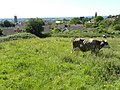 Cows by Glastonbury - geograph.org.uk - 2510174.jpg