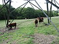 Cows under a pylon - geograph.org.uk - 988523.jpg