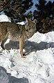 Coyote025 (26935658695).jpg