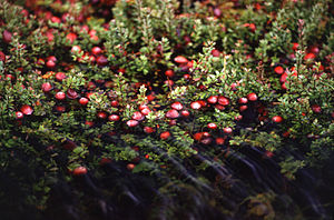 Cranberry - Cranberry bush with fruit partially submerged