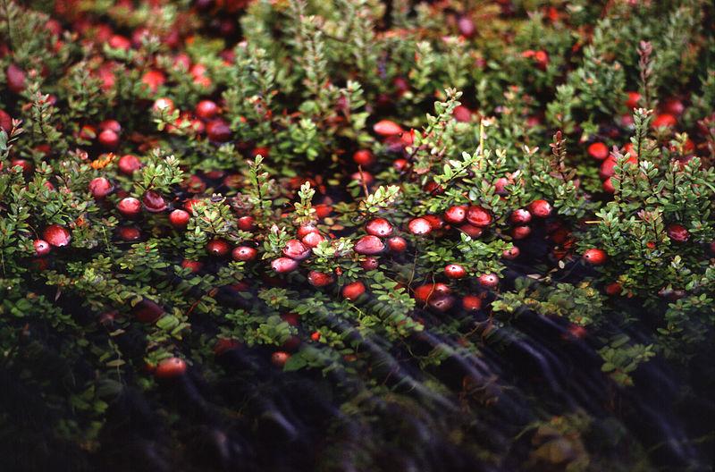 File:Cranberry bog.jpg