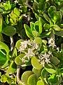Crassula ovata con fiori.jpg