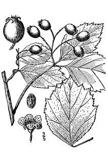 <i>Crataegus douglasii</i> species of North American hawthorn