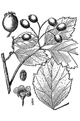 Oregon-Weißdorn (Crataegus douglasii), Illustration