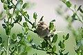 Crealy park sparrow.jpg