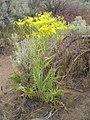 Crepis acuminata-5-31-05.jpg