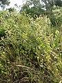 Crepis setosa Haller f. (AM AK320054-3).jpg