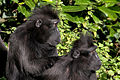 Crested Black Macaque (4043624542).jpg