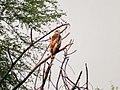 Crested Serpent Eagle I IMG 8399.jpg