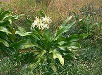 Crinum asiaticum 1.jpg