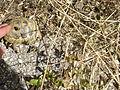 Crnovec - tortoise - P1100462.JPG