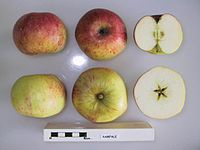 Cross section of Rampale, National Fruit Collection (acc. 1947-201).jpg