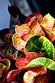 Croton in Thailand โกสน By Trisorn Triboon109.jpg