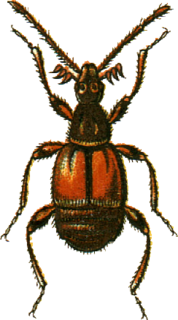 Ctenistini Tribe of beetles