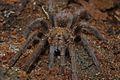 Cuban Bronze Tarantula (Phormictopus auratus) (8575064468).jpg