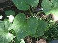 """Cucurbita argyrosperma """"calabaza rayada o cordobesa"""" (Florensa) hoja nerviación marmoreado 3 .JPG"""