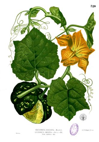 Тыква гигантская. Ботаническая иллюстрация из книги Франсиско Мануэля Бланко Flora de Filipinas, 1880—1883