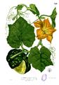 Cucurbita maxima Blanco2.320.png