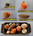 Cucurbita maxima edible decorative mini squash.jpg
