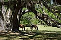 Cumberland Island, Wild Horses (26588219249).jpg