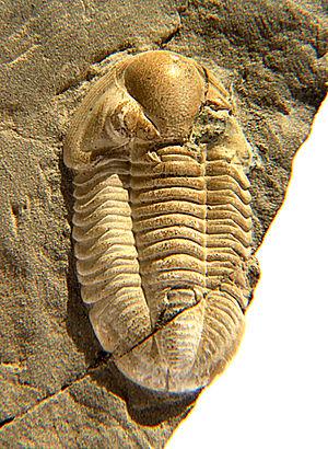 Proetida - Cummingella belisama, Family Proetidae, 18mm, from the Kohlenkalk of Tournai, Belgium, Lower Carboniferous/Mississippian (Tournaisian)