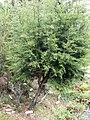Cupressus goveniana ssp. pygmaea - University of California Botanical Garden - DSC09051.JPG