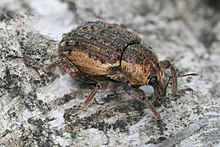 Curculionidae on Betula Richard Bartz.jpg