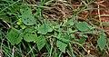 Cyanthillium cinereum (Ash Fleabane) W IMG 2853.jpg