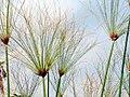 Cyperus papyrus 2zz.jpg