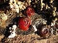 Dúas anémonas vermellas e unha marrón acompañadas de arneirón.jpg