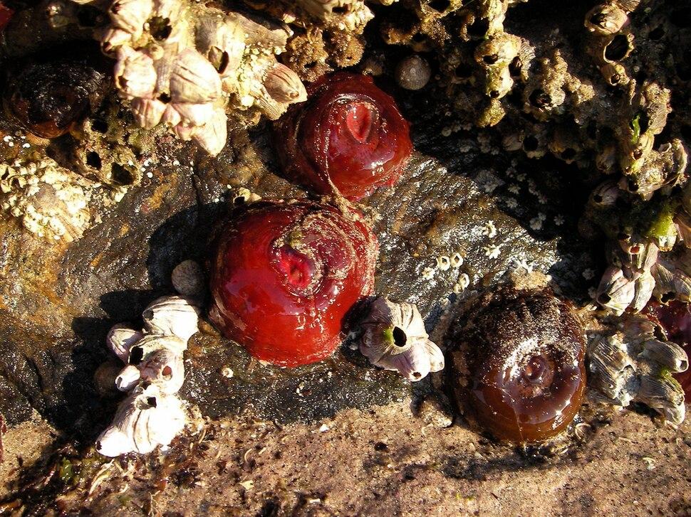 Dúas anémonas vermellas e unha marrón acompañadas de arneirón