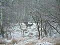 Daňci (Damwild) (Fallow Deers) 17.12.2004 - panoramio.jpg