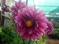 Dahlia flower 2.JPG
