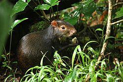 Un agouti, en République Dominicaine