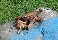 Dead Crab on Painted Rock (30240813602).jpg