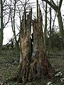 Decaying tree trunk - geograph.org.uk - 668471.jpg