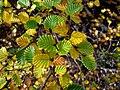 Deciduous Beech - Nothofagus cunninghami Mt. Field National Park, Tasmania.jpg