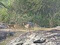 Deer bandipur national park,india.jpg