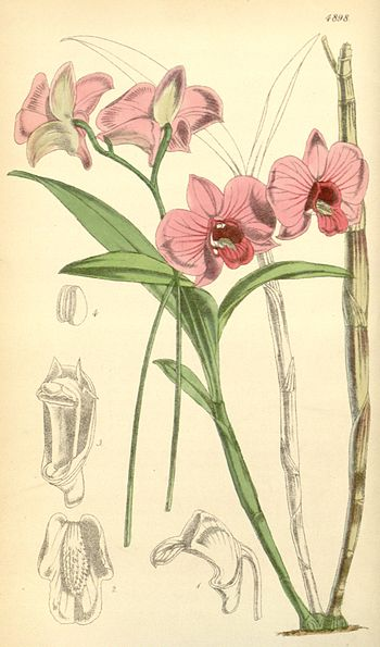 Illustration of Dendrobium bigibbum