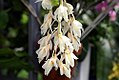 Dendrobium farmeri 0zz.jpg