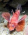 Dendrochirus brachypterus b.jpg
