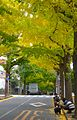 Denenchofu-near-station-gingko-nov17-2015.jpg