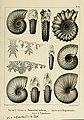 Description des mollusques fossiles qui se trouvent dans les grès verts des environs de Genève (9522581333).jpg