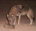 Desert wolf 2.png