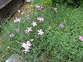 Dianthus nardiformis1.jpg