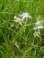 Dianthus superbus1.JPG